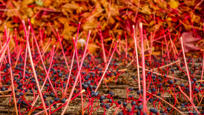 Wilder Wein im Herbst - Hundertmark Fotografie