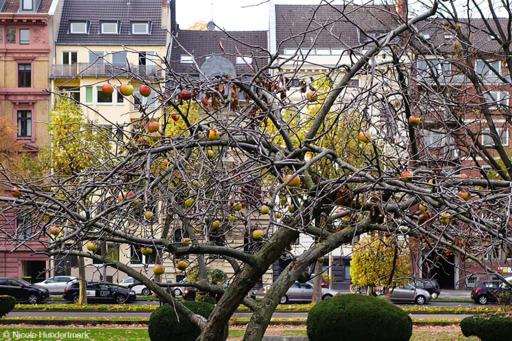 Apfelbaum im Hansapark Köln