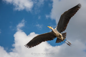 Kölner Tierwelt: Fischreiher über meinem Kopf