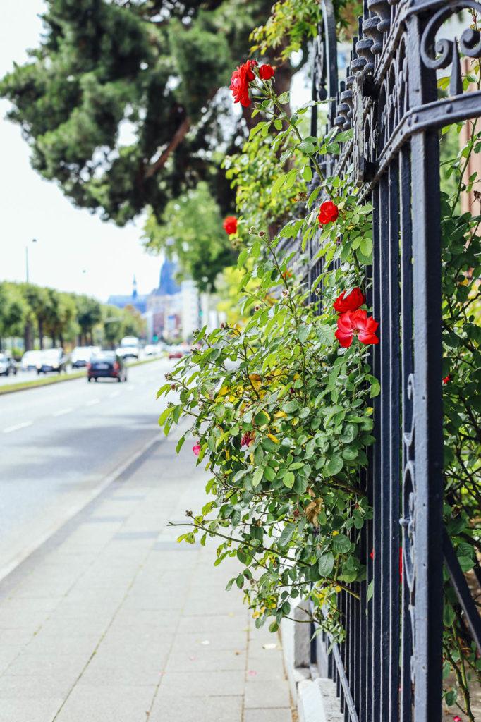 Rote Rosen am Gartenzaun