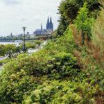 Dichte Bepflanzung am Rheinufer mit Blick auf den Kölner Dom