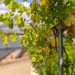 Weinrebe am Kölner Rheinufer in Deutz